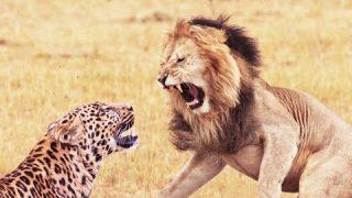 野生動物の驚くべき瞬間2018! ライオン対レオパルドリアルファイト